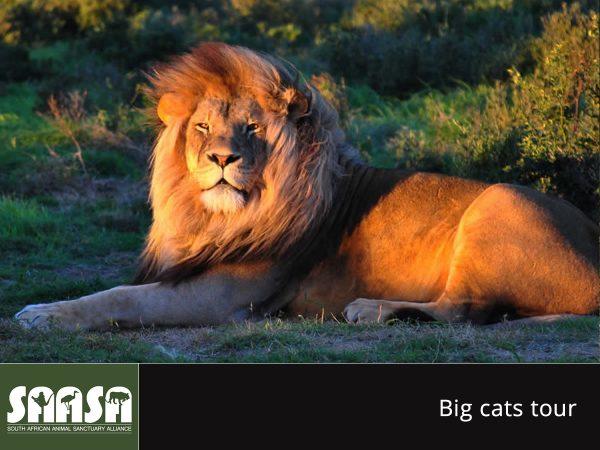 saasa - big cats