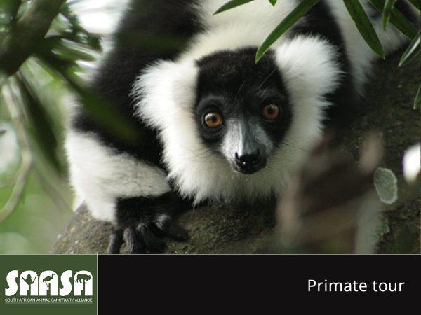saasa - primates